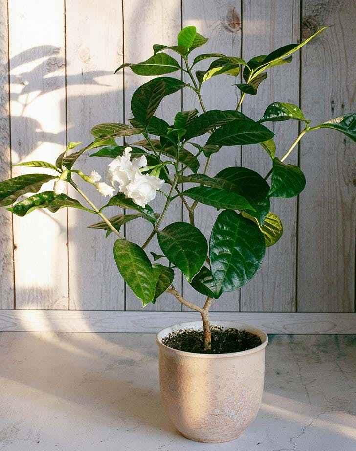 ev bitkisi